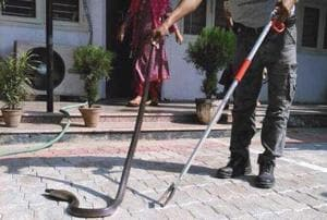 A team of trained snake rescuers caught the snake and transferred it into a safe transport container.