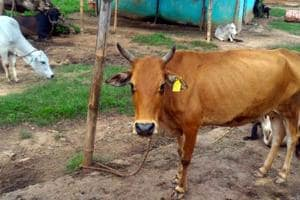 A cow with a tag of Aadhar-like number in Ranchi