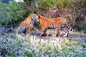 A pair of tigers play inside a tiger reserve.