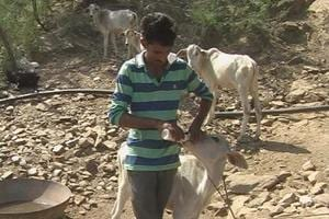 Rajasthan: Gaushala ordered to return cows 'snatched' from dairy...