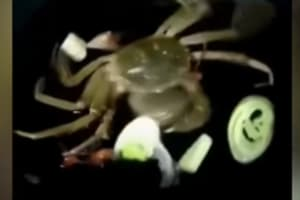 Watch | Stomach-churning video of a crab eating ingredients while...