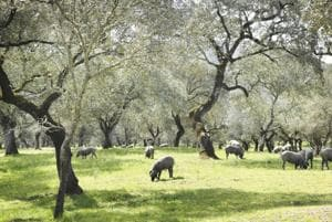 The Spanish countryside, where the pigs run wild