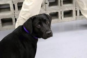 Dog loses interest in sniffing out bombs, dropped from CIA training