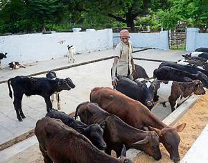Rajasthan has about 84 lakh milch cows. State agriculture minister Prabhu Lal Saini says the Rajasthan Bovine Breeding (Regulation of Production and Sale of Bovine Semen and Artificial Insemination Services) Bill, once becomes an Act, will help regulate private insemination services for improving cattle breeds.