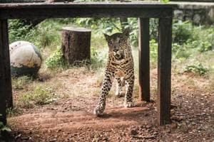 How some Mumbai hamlets live dangerously close to leopards