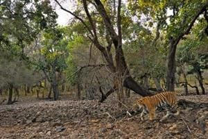 Tiger mauls 10-yr-old girl to death in Madhya Pradesh