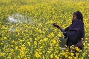 India defers approval to GM mustard permit amid powerful opposition