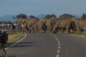 File picture of a herd of elephants crossing a highway in Jharkhand. Herds from the neighbouring state regularly cross over to Bengal and destroy crops, property and lives.