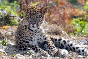 On an experimental basis the 'Project Leopard' will be launched in three wildlife sanctuaries of Rajasthan from December.