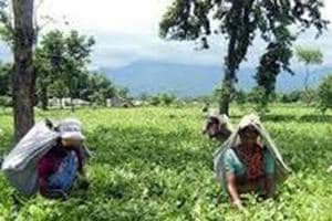 File picture of north Bengal tea gardens. The tea industry is a labour intensive one and absence of workers can cripple plantations.