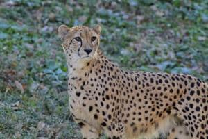 At least 20 cheetahs have been killed in road accidents over the past 16 years in Iran.