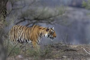 In a first, tigers spotted at high altitudes in hill states to be...