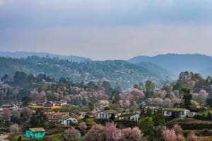 Shillong's native cherry blossoms trees are few, and planted in random clusters. But efforts are on to create avenues of blooms as they have in Japan and the US.