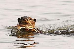 Smooth-coated otters make a splash along Maharashtra's Konkan...