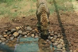 Digital weighing scale, CCTVs to help track health of leopards at...