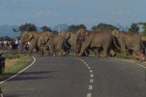 File picture of a herd of elephants crossing a highway in Jharkhand. Herds from the neighbouring state regularly cross over to Bengal and destroy crop, property and human life.