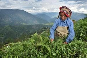 Photos: Darjeeling tea industry crisis; low production,...