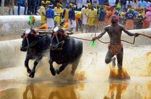 A man rides his buffaloes at a slush track during Kambala (an annual buffalo race) in Moodabidri near Mangalore.