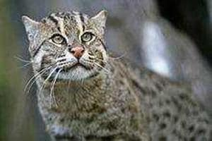 Fishing cats live on fish they catch from ponds and water bodies.