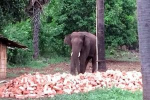 File photo of a captured wild elephant in August that had killed 10 villagers in the past three months in Sahebganj,  Jharkhand.