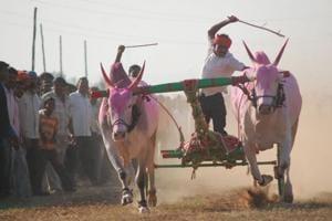 SC pulls up Karnataka govt over order allowing bull race 'Kambala'