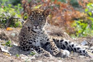 Uttarakhand villagers set fire to farm land to keep prowling leopard...