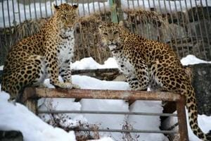 Leopards are routinely sighted in peripheral areas and even at the Barnes court—the official residence of the governor.