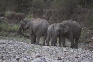 Before translocation of tigers, 6 elephants to be brought to Rajaji...