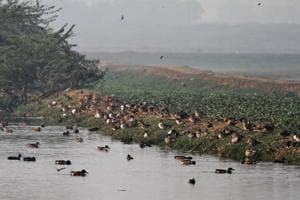 Migratory birds start flocking to Basai wetland in Gurgaon