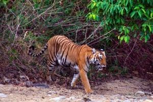 'Big cat' kills woman out to collect fodder, officials suspect...