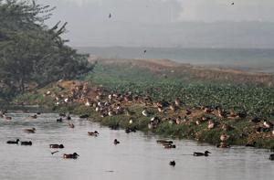 Basai wetland an important area for birds : rules green tribunal