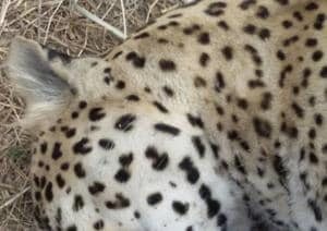 The leopard was spotted lying lifeless in a mining pit by a group of villagers who immediately informed the forest department staff regarding the animal.