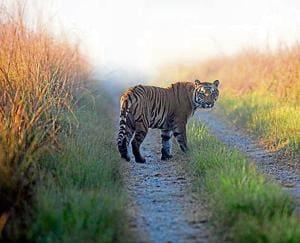 Bushes hinder Rajaji big cats' monitoring, translocation
