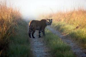 At present, there are 14 tigers at Sariska.