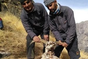 No blue sheep found with eye infection in Kedar Tal