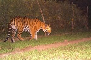 A picture of the tiger taken in Jhabua.