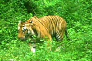 Forest staff confirm the presence of a tiger in Tanakpur