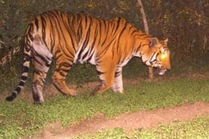 MP forest department launches hunt to capture lovelorn tiger