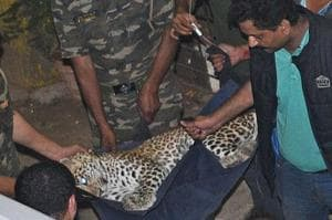 12 hours later, leopard at Mumbai's Sher-e-Punjab caught