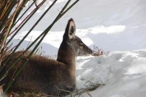 Musk deer death: Pithoragarh DMwaits for report