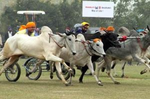 Madras HC declines to stay bullock cart races in Tamil Nadu