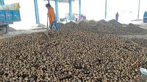 Growers jittery as potato prices fall; blame Haryana govt for no MSP