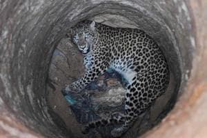 In pics: How a leopard trapped in dry well was rescued after two hours