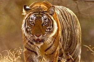 The last all-India census, occurred in 2014, pegged the number of  tigers at 2,226  up from 1,706 in 2010.