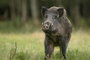 Travelling to Berlin? Beware, wild boars are on rampage in the German...