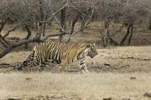 A tiger prowling in Ranthambore reserve in Rajasthan.