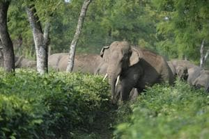 A herd of wild elephants walk through a tea garden near Siliguri. As the human population increases, the natural habitat of elephants get destroyed and they are forced to move into farming areas.
