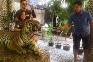 Tiger in Thailand zoo chained and poked for roars as tourists pose for...