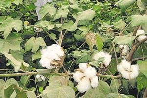 Gujarat lessons: BJP to compensate farmers losing cotton in...