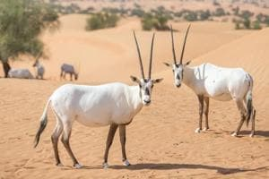 Want to see one of the desert's most mythical creatures? Visit this...